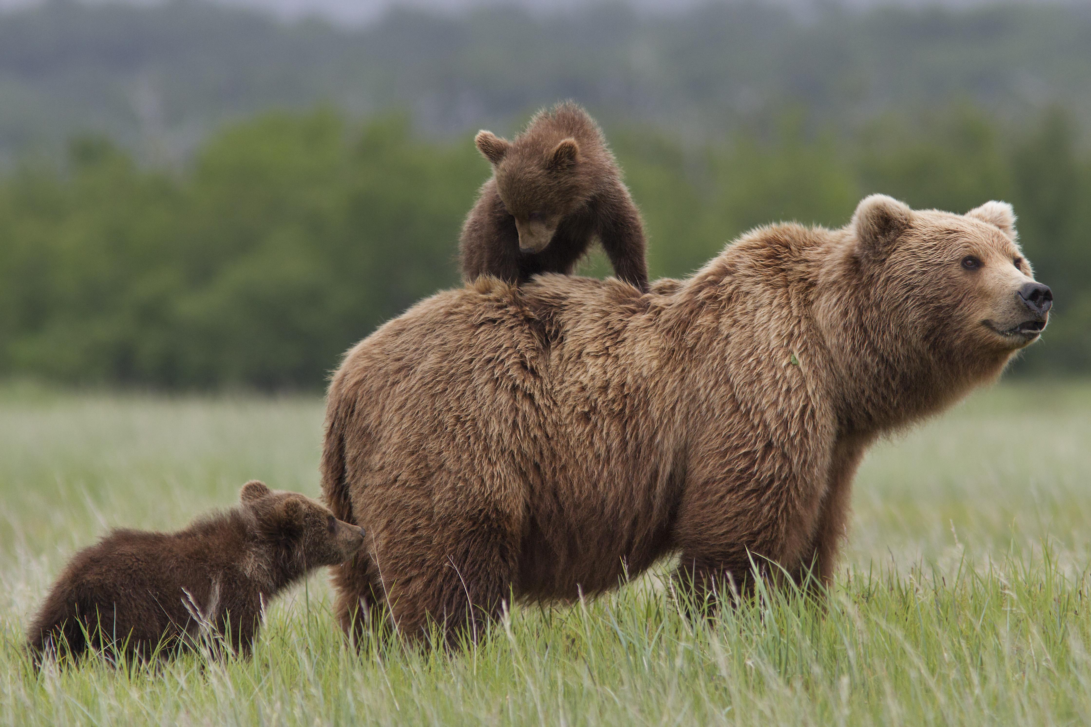 DisneyNature Bears-review Disney Nature-hoe heet de moederbeer uit Disney Bears